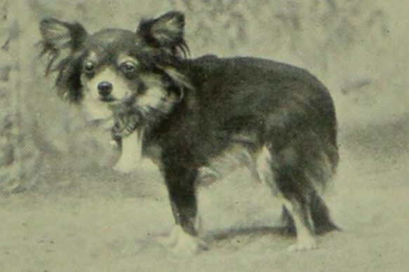 A chihuahua, photographed in black and white